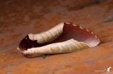 Loài bướm ngụy trang thành lá cây khô còn giống hơn cả thật