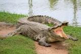 đánh cá sấu, cá sấu