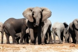 Hàng trăm con voi ở Botswana chết không rõ nguyên nhân