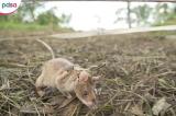 Chú chuột giành giải thưởng nhờ đánh hơi được hàng chục quả mìn
