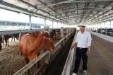 Đắk Lắk chi 50 tỷ đồng tiền ngân sách cho doanh nghiệp nuôi bò trái quy định