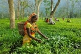 Trà Assam