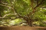 Tổng thống Kenya bảo vệ cây cổ thụ 100 tuổi khỏi bị di dời